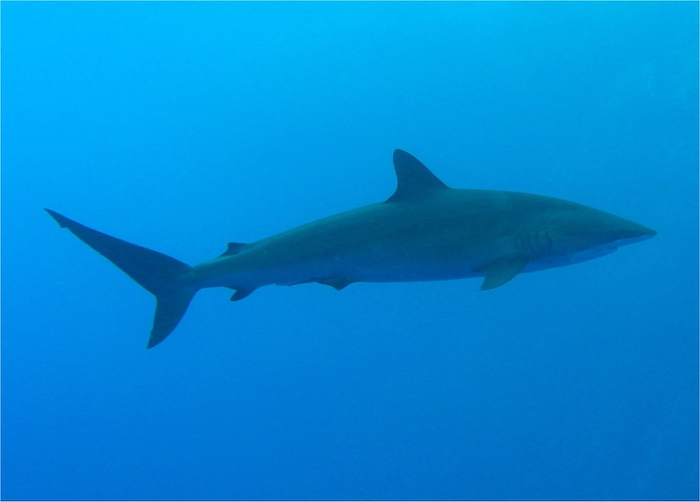 An image of the Silky Shark. The photo was taken on 21 October 2006 at Small Brother Reef in Egypt in the Red Sea. Photo: Johan Lantz, Malmö SWEDEN, 2006