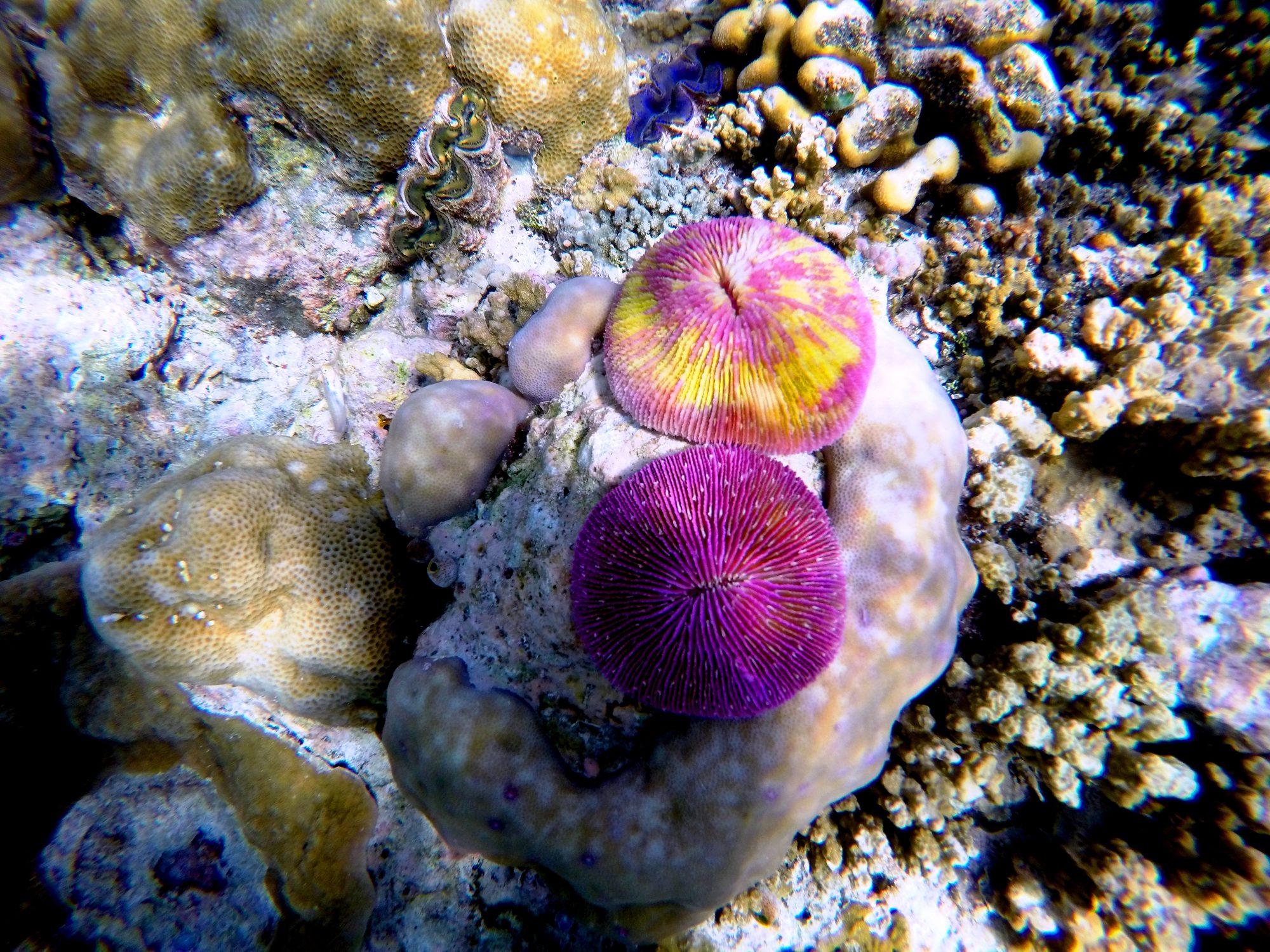Palau drop off mushroom coral