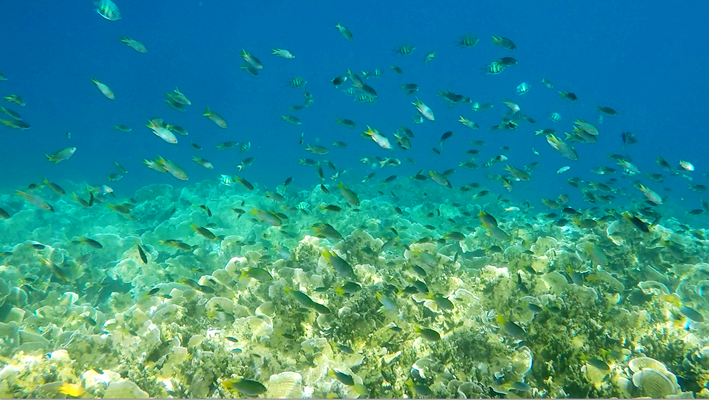Palau yellowtail chromis